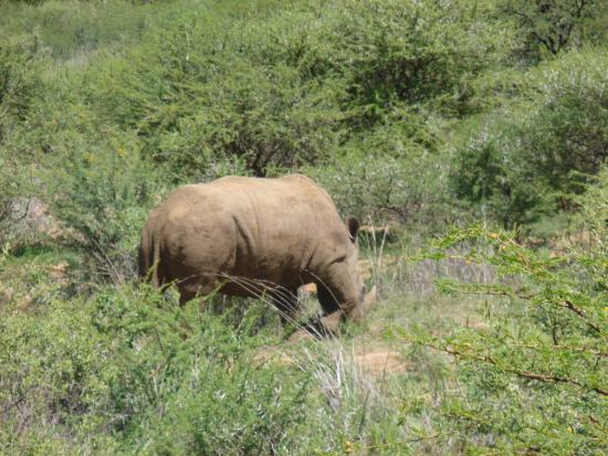 Ama-Zing Pilanesberg Safari Private Day Tour : Black Rhino...I think