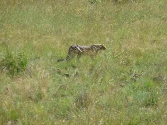 Ama-Zing Pilanesberg Safari Private Day Tour : One of the 3 Cheetahs