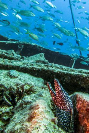 Simpson Bay, St. Martin: Moreia e cardume em naufrágio