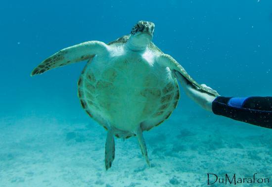 Simpson Bay, St. Martin: Linda tartaruga que acompanhava a gente durante todo o mergulho