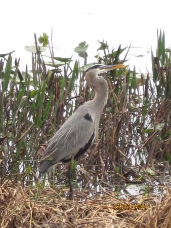 Bonnet Lake Campgrounds: resident Blue Heron