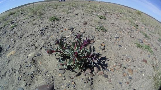 Desert Flowers Purple White Picture Of Bruneau Dunes State Park
