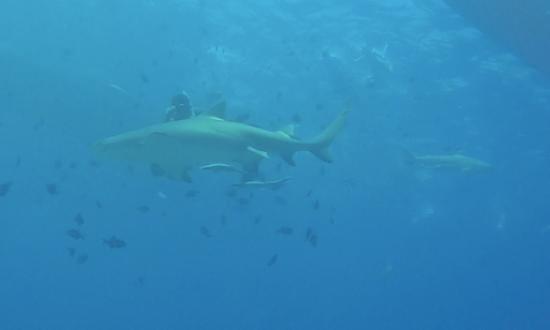 TOPDIVE Bora Bora : Lemon shark