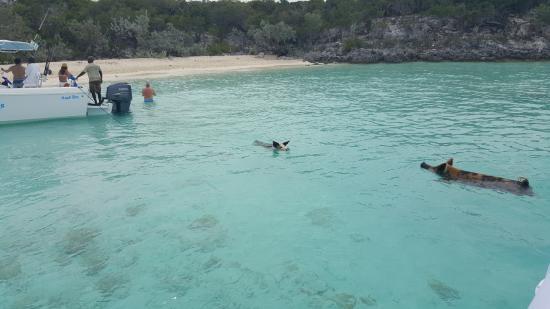 Exuma Cays Land and Sea Park: La isla de los cerditos!! viven en un cayo y los llegas a visitar para darles comida!