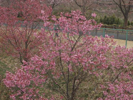 Sakura no yama Park: Spring has come