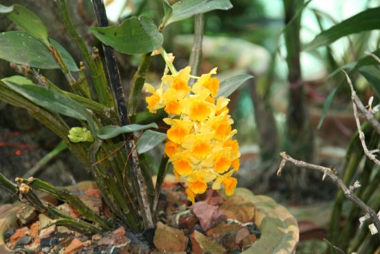 Hatikhuli, India: Nice orchids