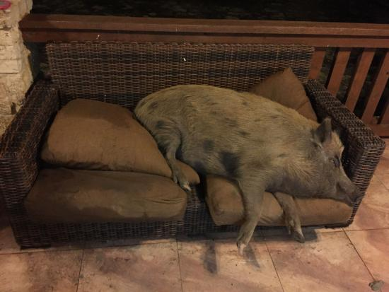 Ox Hunting Ranch: A Ferrel Pig Taking A Nap On Furniture.