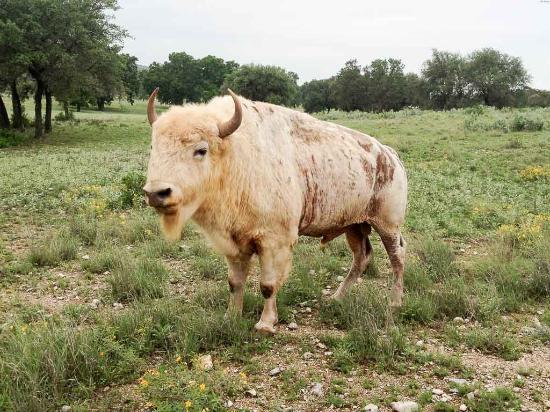 Uvalde, TX: White Buffalo