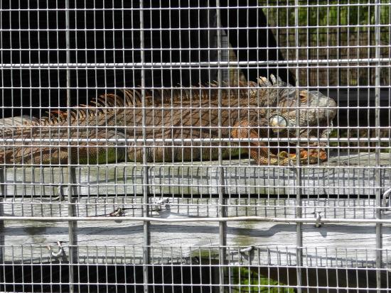Octagon Wildlife Sanctuary And Rehabilitation Center: Leguan