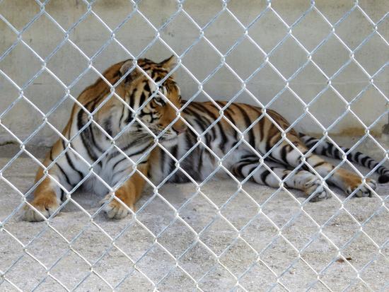 Octagon Wildlife Sanctuary And Rehabilitation Center: Tiger