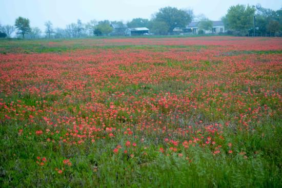 Fredricksburg RV Park : Wildflowers in field across the street from RV park