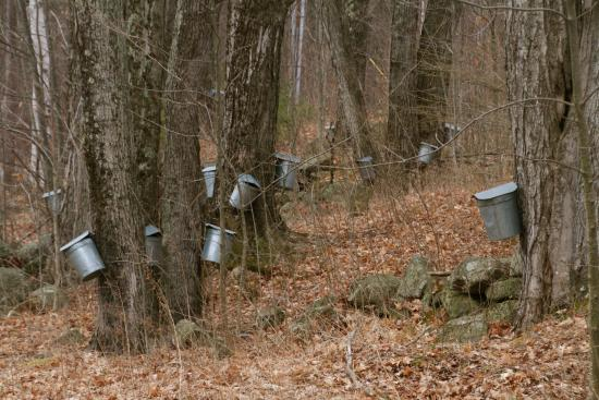 Francestown, Nueva Hampshire: Late March/early April = maple sap collecting time!