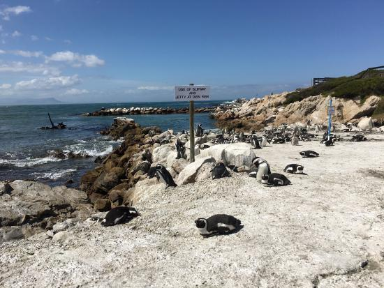 Drive from Cape Town Airport to Hermanus. Stony Point Penguin Colony