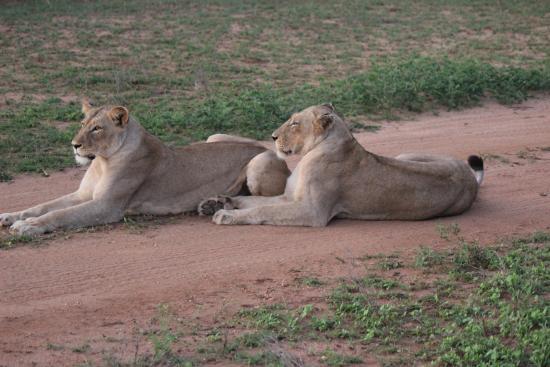 Sausage Tree Safari Camp: Les lions adorent s'étendre sur les pistes !