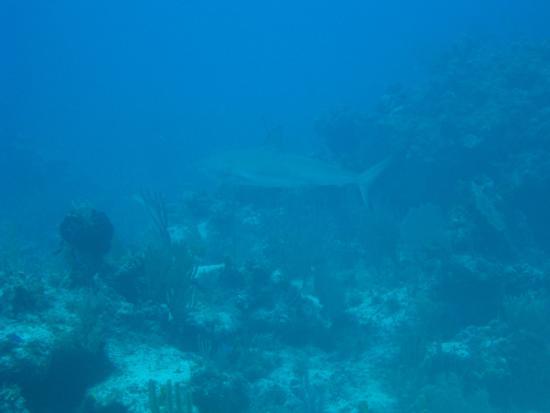 Dive Exuma: Caribbean reef shark
