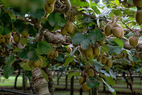 Ashfields Country Garden Bed and Breakfast: Kiwi vines laden with fruit