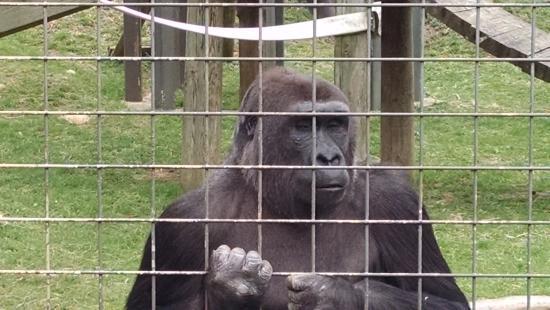 apes close up picture of columbus zoo and aquarium powell rh tripadvisor com