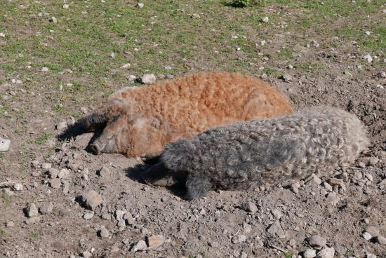 The Pig on the Beach: Amazing Curly pigs at bottom of Garden