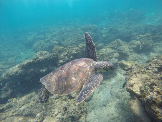 Капалуа, Гавайи: Sea Turtle at Kapalua Beach