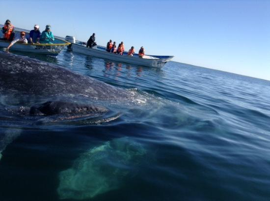 Puerto San Carlos, México: We see the mother whale, the baby, and with clear waters the whale below!