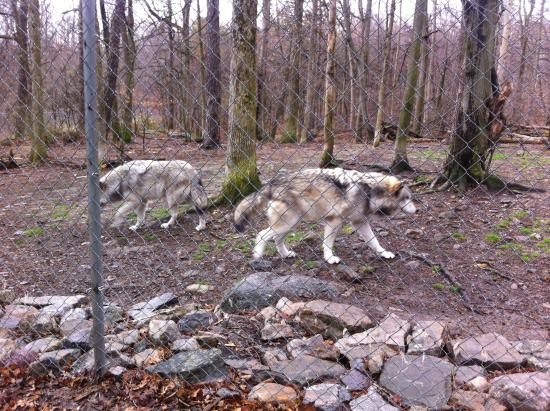 Columbia, NJ: One type of wolf we learned about
