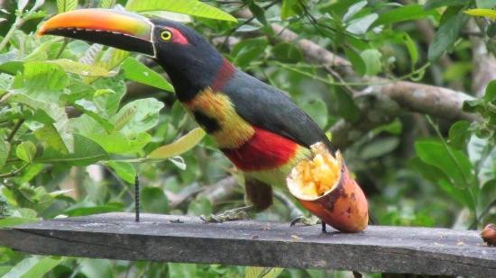 Las Alturas de Puriscal: toucan has a snack