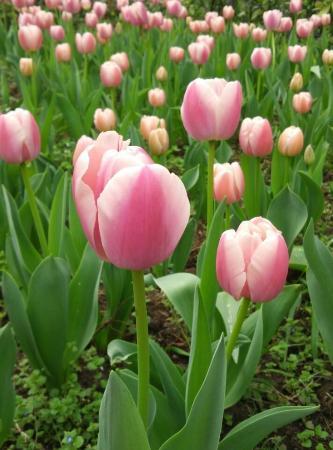 Zhongshan Botanical Garden: Tulip
