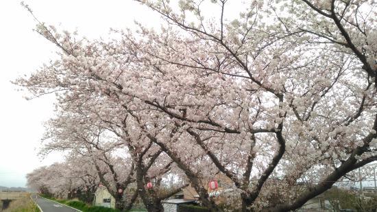 Sakuratsutsumi
