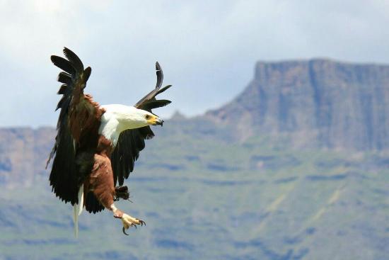 uKhahlamba-Drakensberg Park, แอฟริกาใต้: Falcon Ridge Bird of Prey Centre