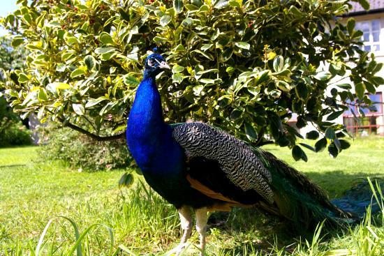 Blessingbourne Apartments: Peacocks