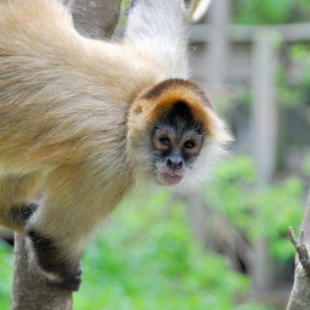 Alexandria Zoological Park : Spider Monkey