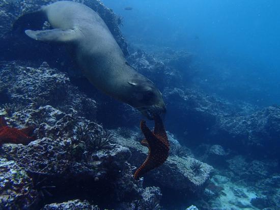 Floreana, Ecuador: Lobo marino , endémico de galápagos , los juveniles son juguetones y frecuentemente estan jugand