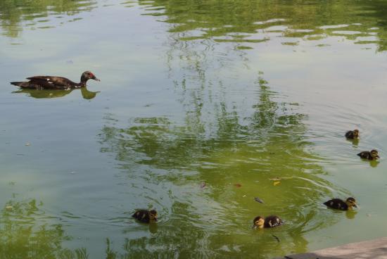 Parque Ninos Heroes: patos en el lago