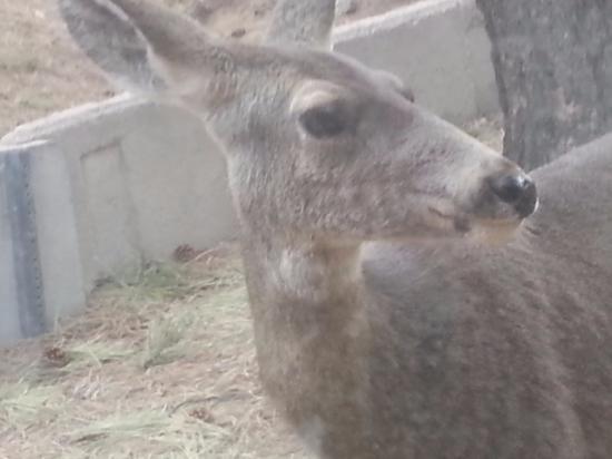 Hualapai Mountain Park: Deer looking in our window