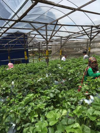Tanah Rata, Malaysia: View of the healthy strawberry farm