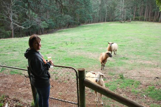 Glenbrook House and Cottage: The 3 friendly sheep