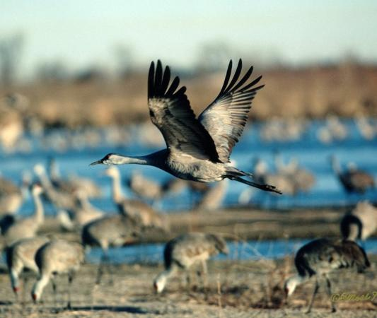 Holiday Inn Express Hotel & Suites Grand Island: Come watch the Sandhill Crane migration