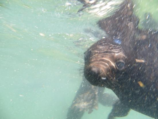 Offshore Adventures: seal under water