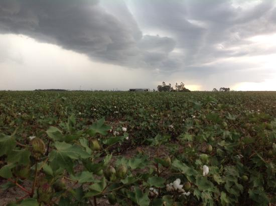 Young cotton crop, wild sky, near Dalby