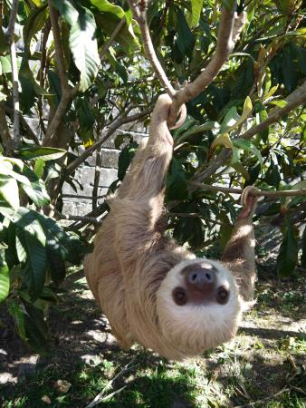 Volcan, Panama: one of the rescued sloths