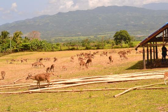 Camarines Sur Province, Philippinen: More than 300 deer in the field