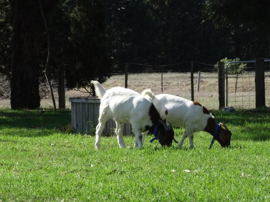 Ripples n Tonic Alvina Farmstay : visit Billi and Bertie our farm house goats