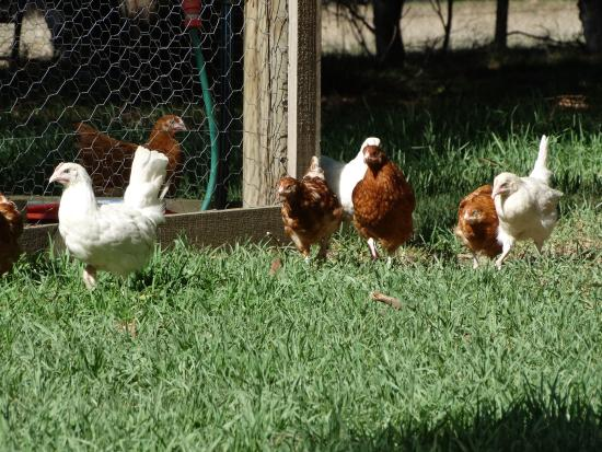 Ripples n Tonic Alvina Farmstay : Enjoy feeding and interacting with the free range hens and roosters.  Organic eggs are available