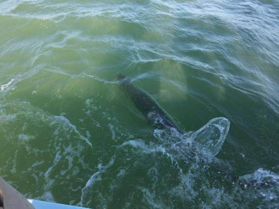 Boca Grande, FL: Tarpon at the boat