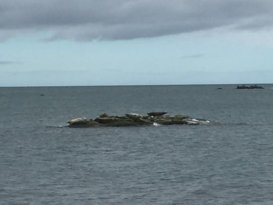 Kinghorn, UK: Seals on coastal walk