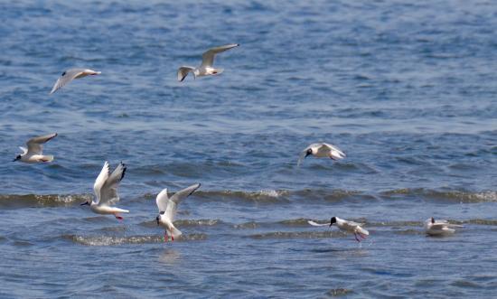 Gabriola Island, Canada: Seabirds on the wing.