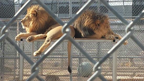 Fun afternoon picture of lion habitat ranch henderson tripadvisor