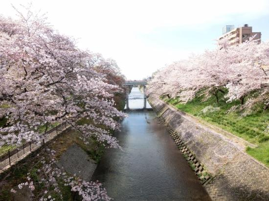 赤い橋と桜 - 各務原市、新境川堤の写真 - トリップアドバイザー