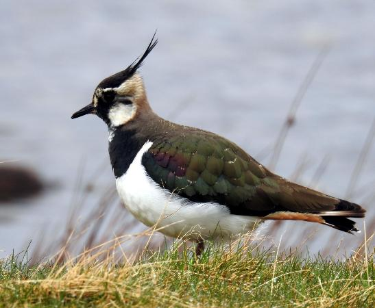 Highland Wildlife & Birdwatch Safaris: Lapwing