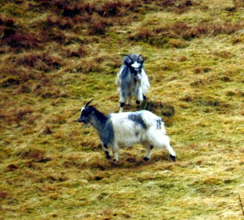 Highland Wildlife & Birdwatch Safaris: Mountain goats